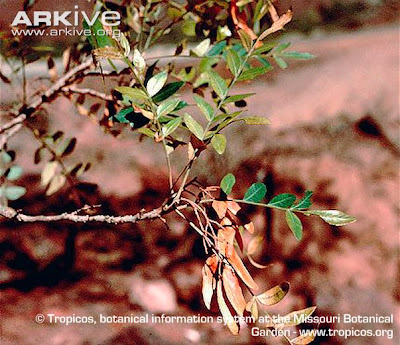 Horco quebracho Schinopsis haenkeana