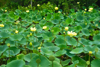 Image result for lotus garden