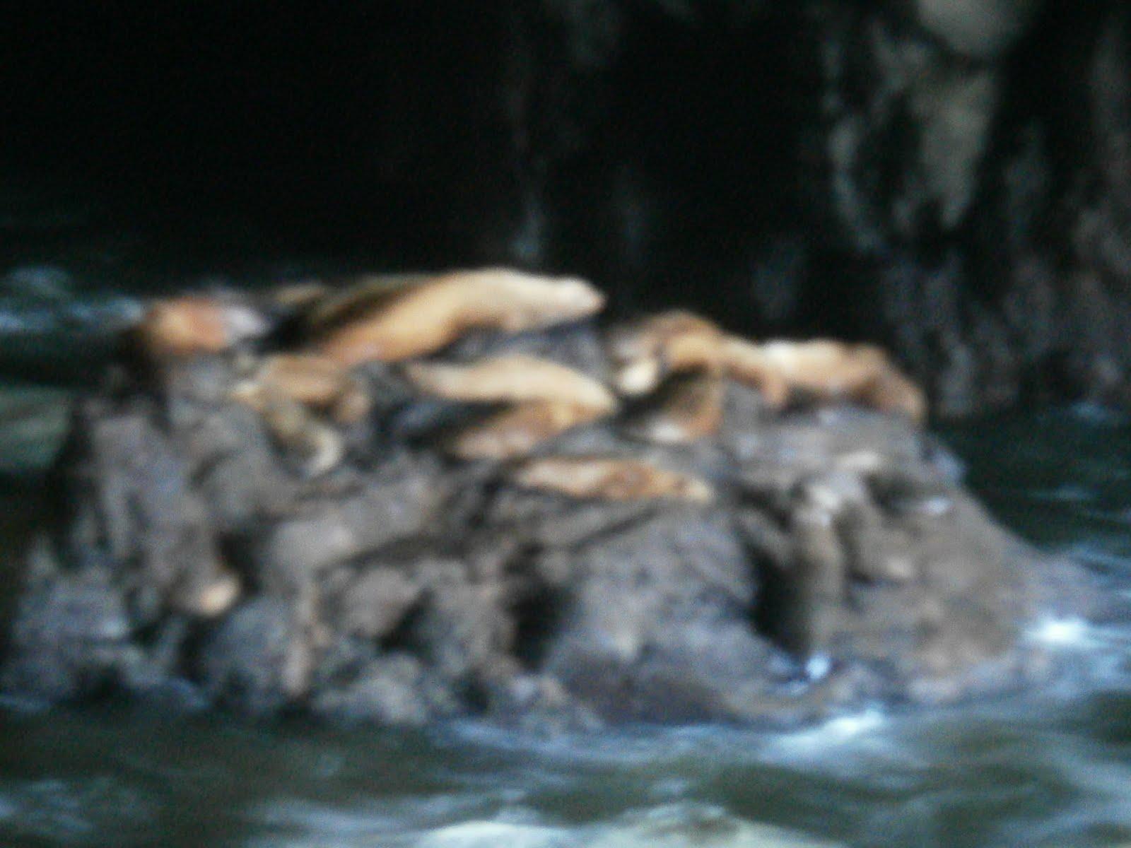Daisy Chain: Sea Lion Caves 2011