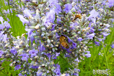 bee, bees, lavender, Oregon, McKenzie River, Walterville, Leaburg, summer, flower, Cascades, Willamette Valley, lavender farm, honeybee