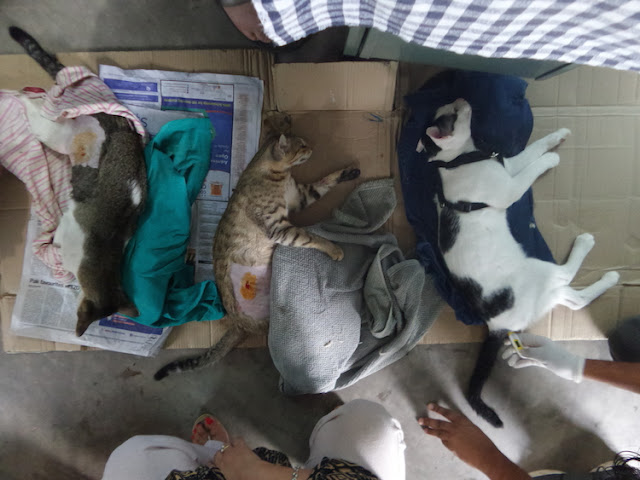 animal rescue, cats, charity, dogs, HART, himalayan animal rescue team, Nepal, non profit, pokhara, rescue, sterilization, treatment, vaccination,