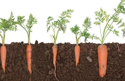 Carrot (Daucus Carota) Overview, Health Benefits, Side effects