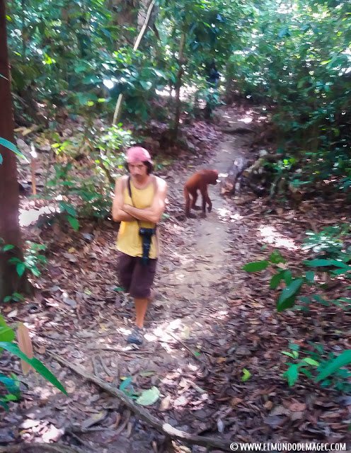 ver-orangutanes-en-borneo-sepilok-encuentro-inesperado