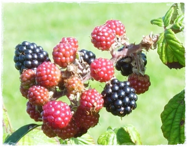 foraging for blackberries in Cornwall
