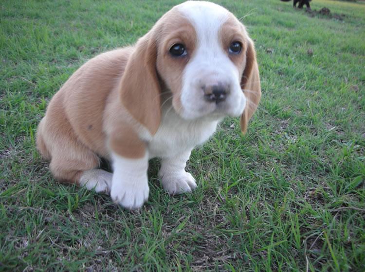 Basset Hound Puppy Pictures Information | Puppy Pictures ...
