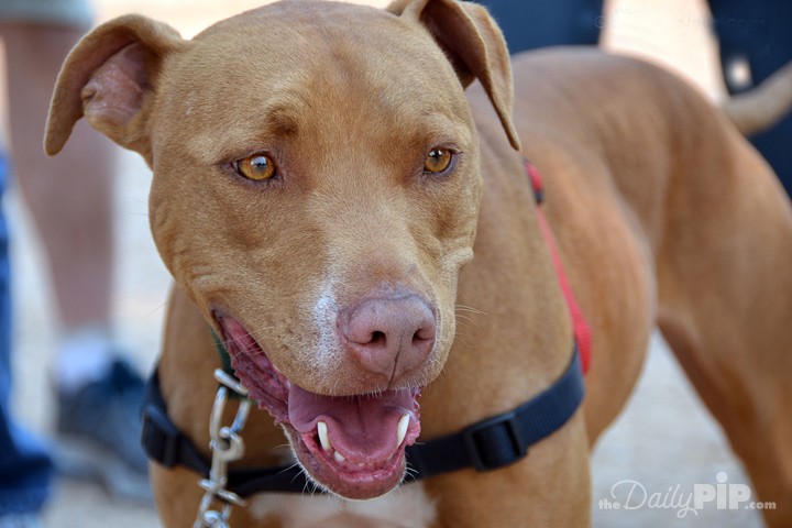 Rescue a pitbull in honor of Adopt A Shelter Dog Month