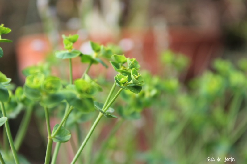 Euphorbia segetalis