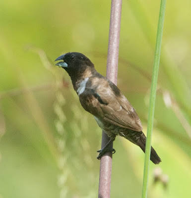 Javan or White-bellied Munia (Lonchura leucogastroides or L. leucogastra)