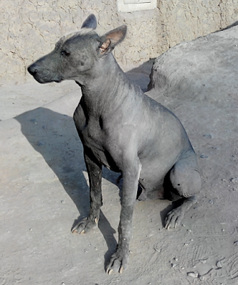 Perro viringo o calato en Huaca Huallamarca Lima Perú