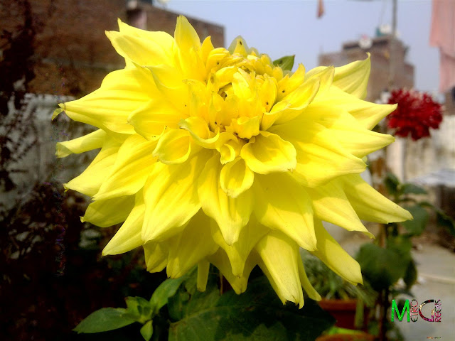 Metro Greens: The yellow dahlia bloom