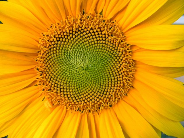 kwiat, płatki, pomarańczowy, ogród