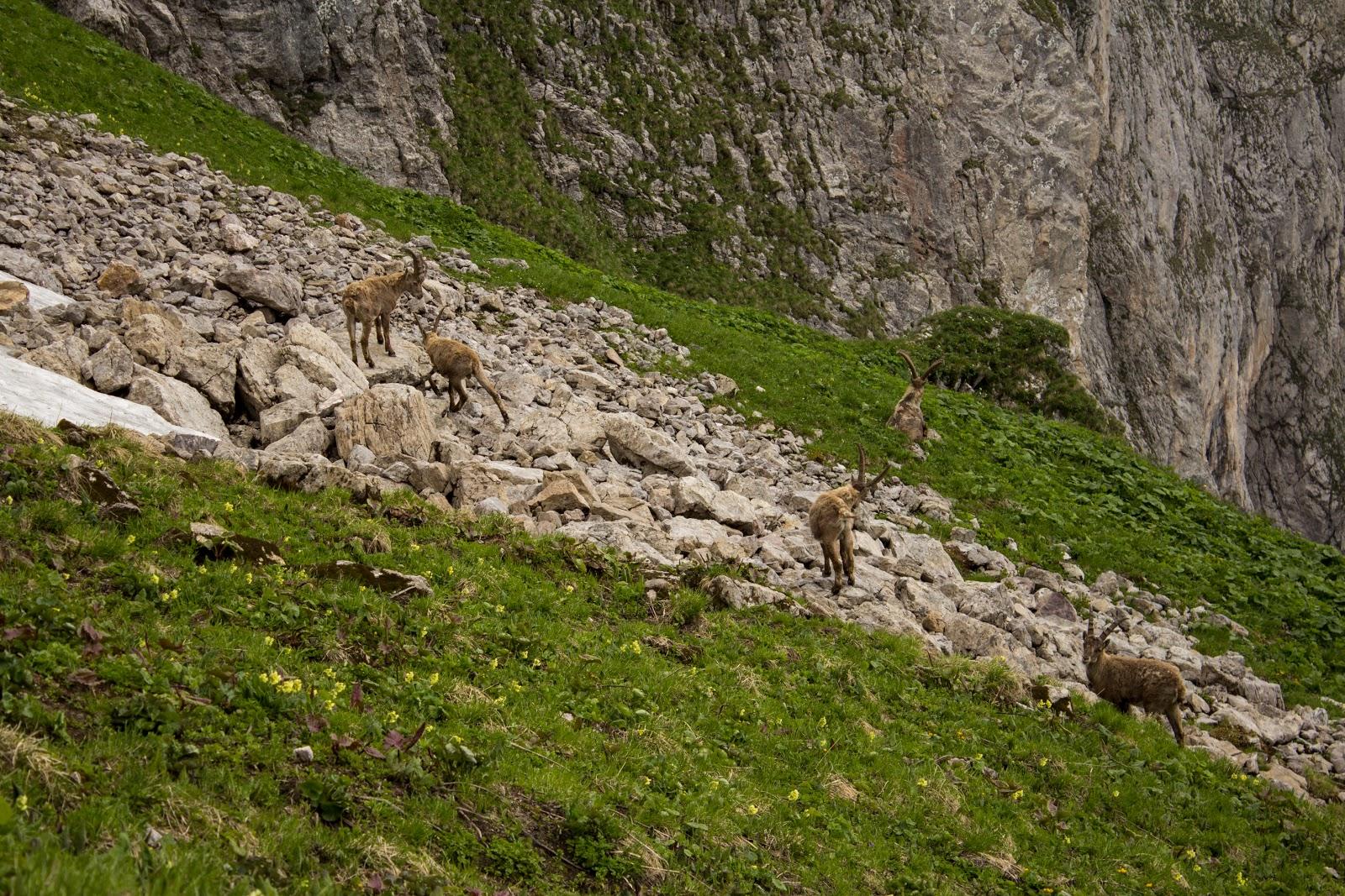 Steinbockherde - Zweitätige Rundwanderung von der Hirnalm über den Grete Klinger Steig zum Reichenstein und über Krumpenhals und Krumpensee wieder zurück zur Hirnalm.