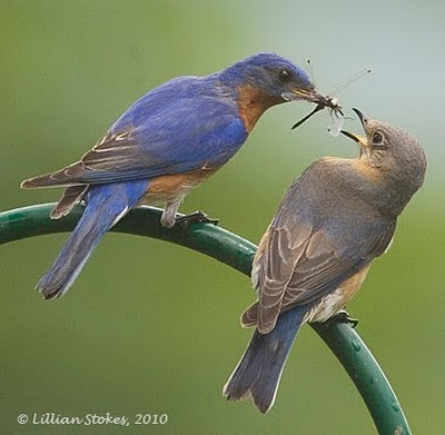 stokes birding blog eastern bluebird breeding all is well. Black Bedroom Furniture Sets. Home Design Ideas