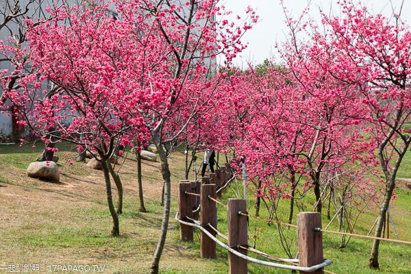 台中后里|2019中科崴立櫻花公園|綠萼櫻|八重櫻|多條賞櫻步道散步拍美照