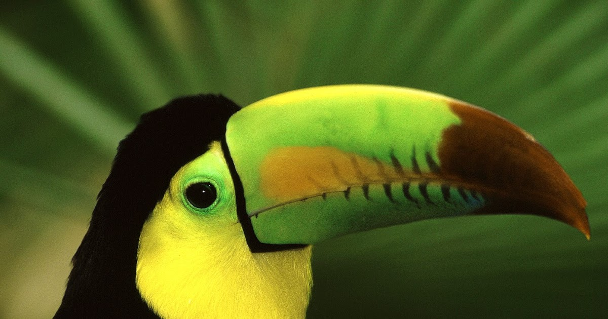 Keel Billed Toucan Blue Feet