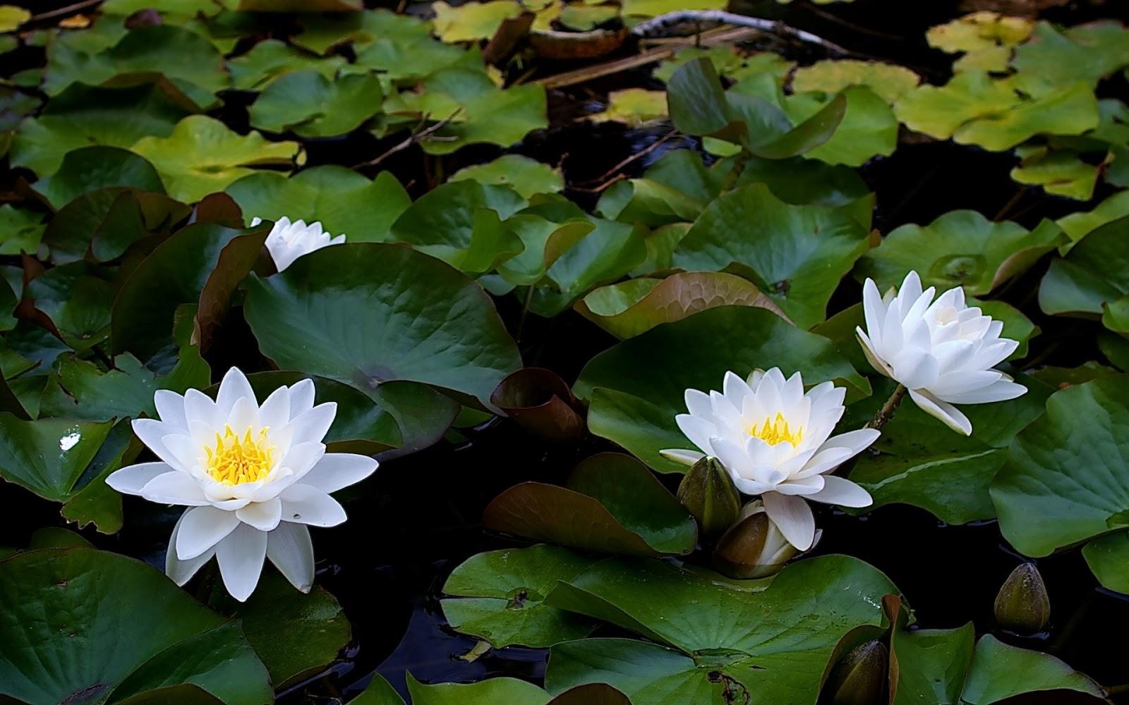Jasmine Flower Hd Wallpapers Free Download Yahoo Tv Blog
