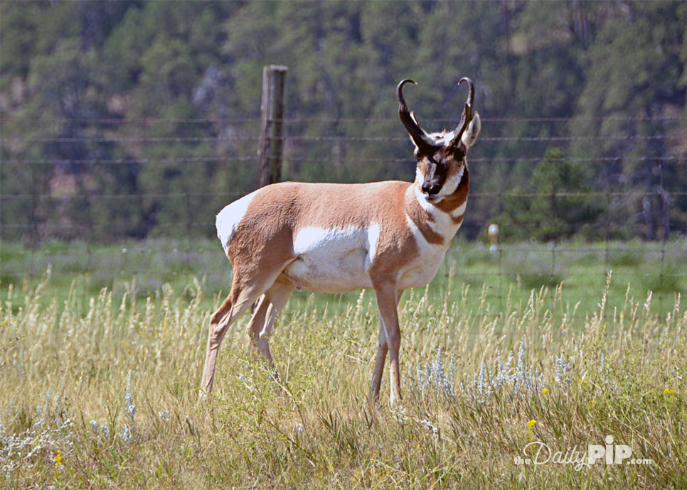 Male antelope stops traffic in Custer State Park