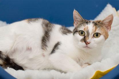 Pregnant cat Daisy