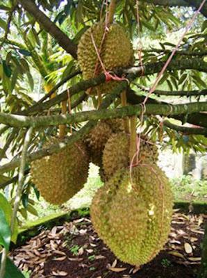 Budidaya Durian Bawor Sangat Mengutungkan