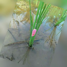 Mengenal siklus hidup Keong Mas (Pomacea canaliculata Lamarck)
