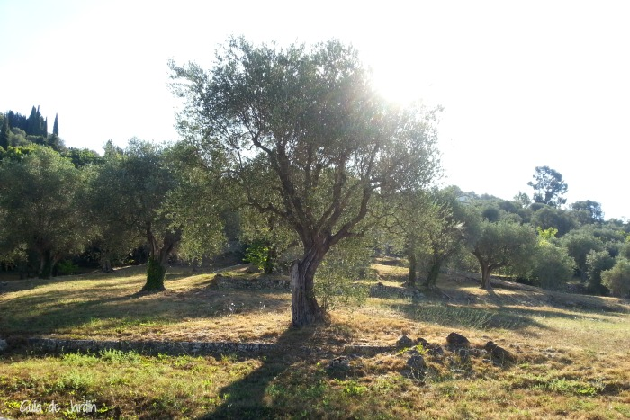 Un olivar cercano