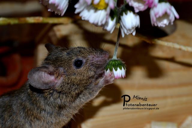 Farbmausweibchen Murmel mag Gänseblumen
