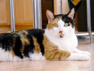 Kucing kampung kembang telon