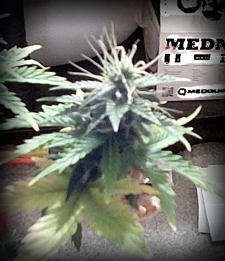 Sour Diesel Auto: Low-Budget/Stealth - 1st FEMINIZED Seed