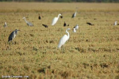 Garceta grande (Egretta alba)