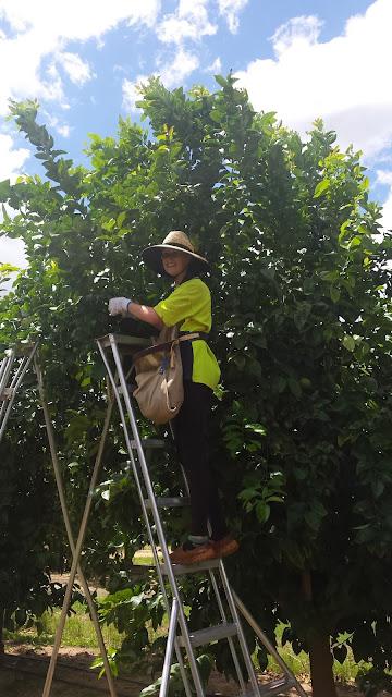 Picking lemons on a dodgy ladder