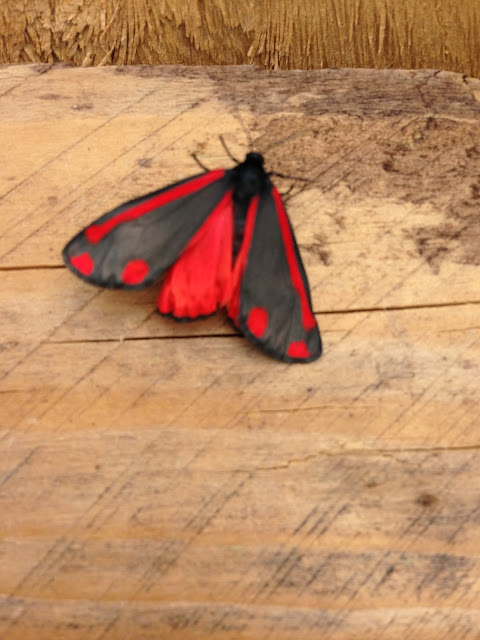 A sunday photo of a red and black moth @ ups and downs, smiles and frowns