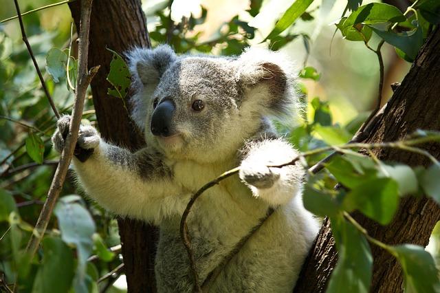 Koala sur un eucalyptus, Pixabay