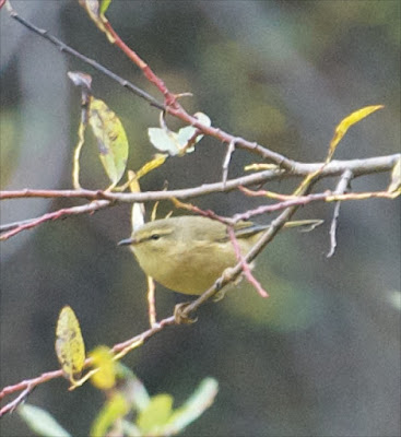 Buff-throated Warbler (Phylloscopus subaffinis)