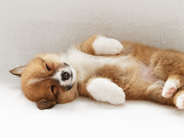 How to Care Pembroke Welsh Corgi Dog