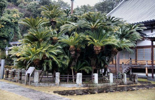 Largest cycad in Japan at Shokuji Temple