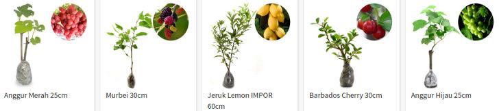 tanaman-buah-murah