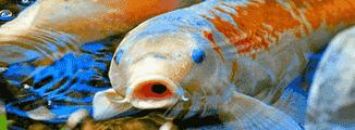 Ikan kekurangan oksigen