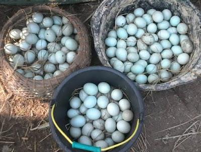 Hasil gambar untuk telur bebek