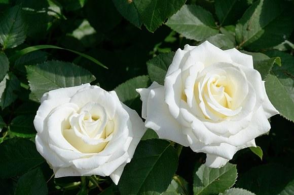 Bianca сорт розы фото купить саженцы Минск питомник
