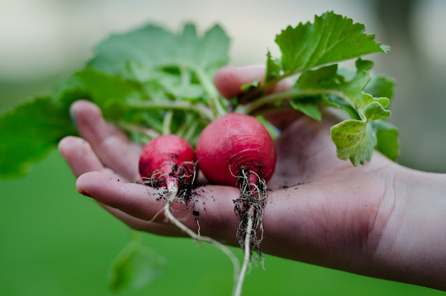 Hand holding freshly harvested radishes