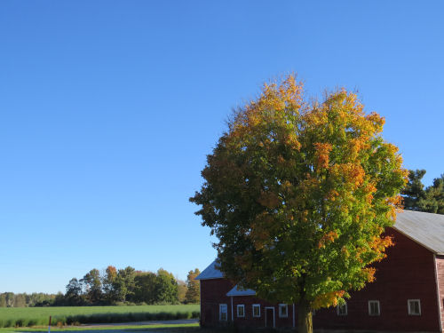 blue sky behind barn and autumn tree
