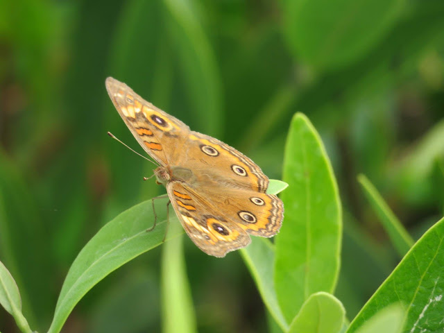 Butterfly spotted on Sanibel Island, Florida