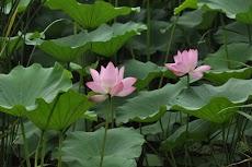 Klasifikasi dan Morfologi Bunga Teratai (Nymphaea spp)