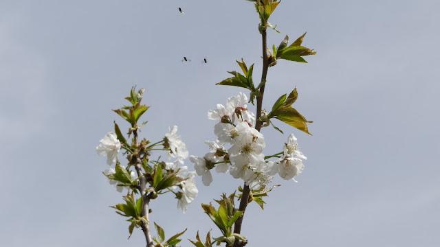 Kirschblüte in Marokko