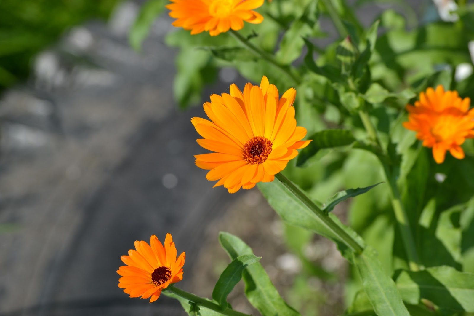 Janies pocono mountain garden five annual flowers that dont mind also known as pot marigold it is a pretty flower with bright yellow or orange petals it tolerates full sun to shade and grows 1 to 3 feet in height izmirmasajfo