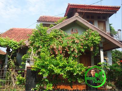 FOTO : Bunga melati belanda dirambatkan ke pergola untuk peneduh teras rumah