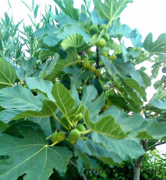 """Olympic fig tree"""