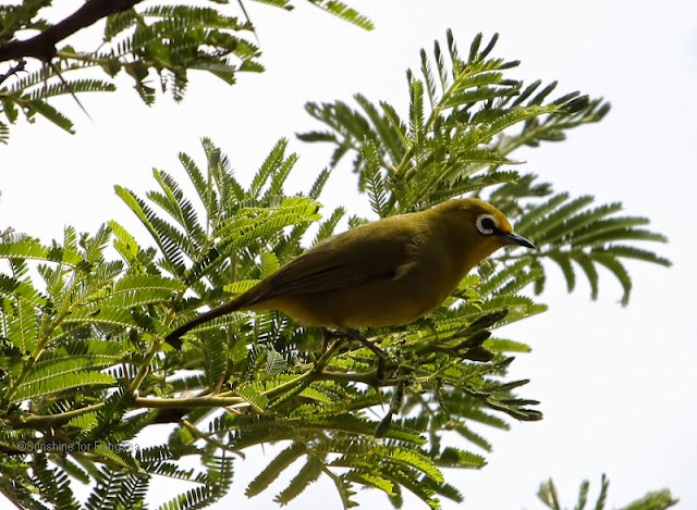 African Montane White-eye (Zosterops poliogastrus)