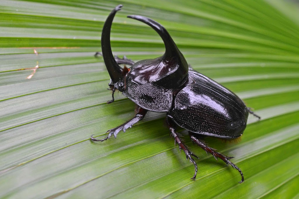 Image result for rhino beetle