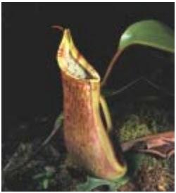 Ciri Khusus Tumbuhan : Rafflesia, Kaktus, Teratai dan Kantung Semar